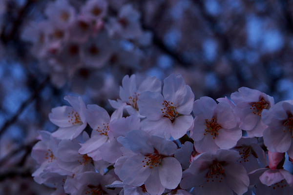 母子島桜1