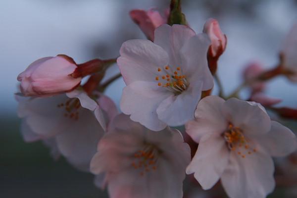 母子島桜2