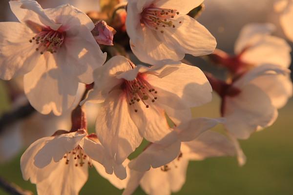 母子島桜3