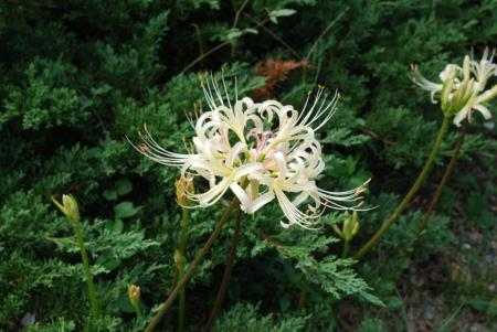 植物園 白い彼岸花