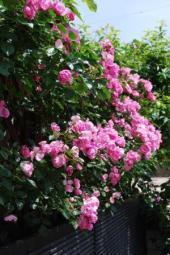 rose13.jpg