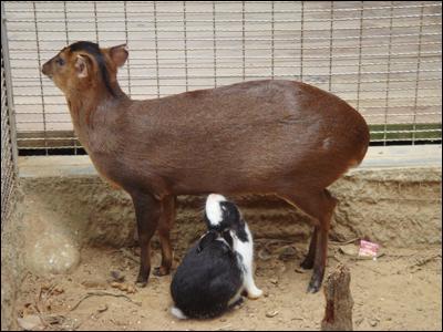 被兔子強吸奶的可憐山羌