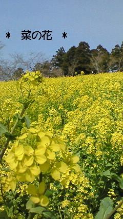 マザー牧場の菜の花 1