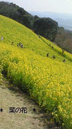 マザー牧場の菜の花 2