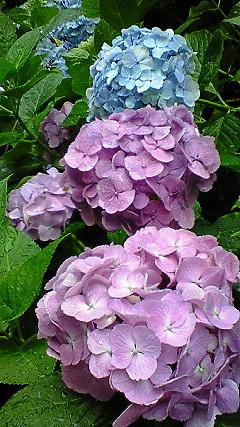 紫陽花ピンクとブルー
