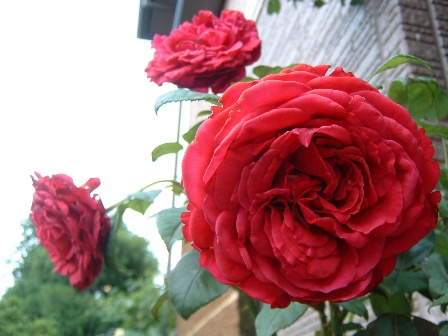 rose-des-4vents2.jpg