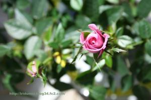 Mini rose_01