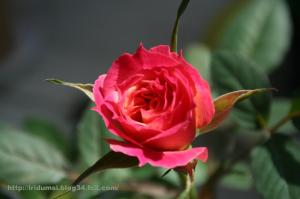 Mini rose_02