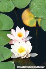国池の睡蓮3