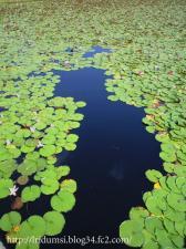 国池の睡蓮4