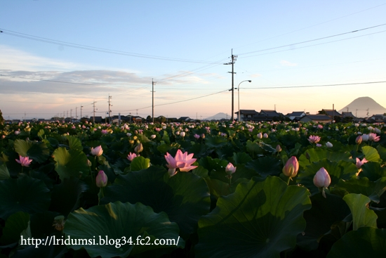 朝の蓮畑にて 1
