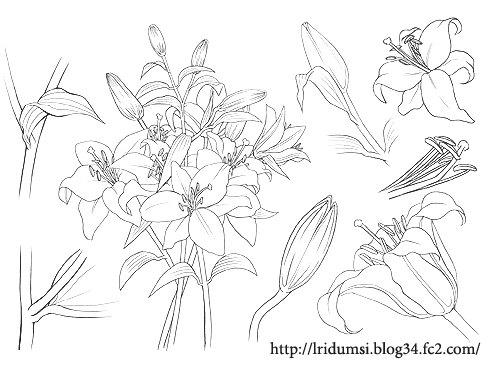 百合の花 線画 2