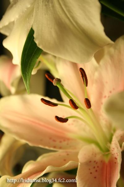 百合 生花