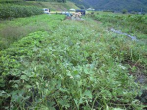 畑 サツマイモの葉