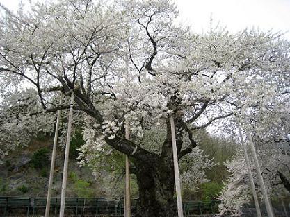 sansou-shoukawazakura-09-4-30.jpg