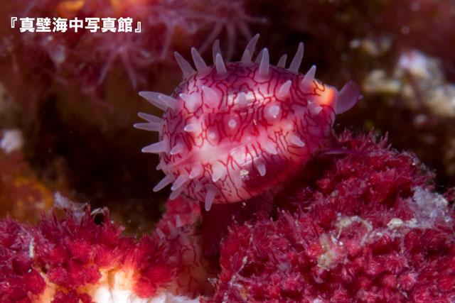 08-3★シロオビコダマウミウ
