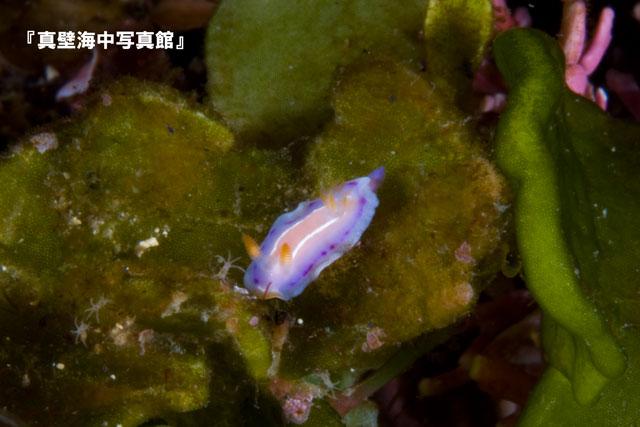 12-2★ハナイロウミウシ1-03