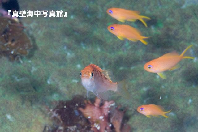 22-1★アカメバル2-01