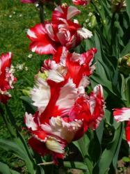 Tulip fest 4