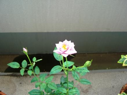 薔薇_20090625