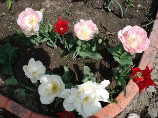 薔薇のようなチューリップ