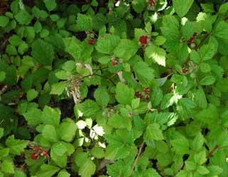 森の赤いベリー
