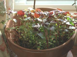 植木鉢に生えてきたシソ