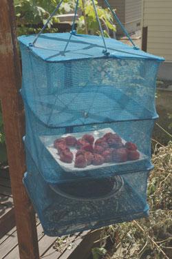 魚干しネットで梅干の土用干し