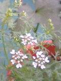 パクチー花