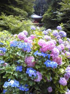 紫陽花と三重塔