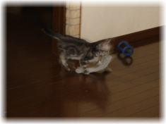 靴下を運ぶ猫