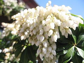 あせびの花