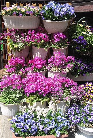 サクラソウの花壇
