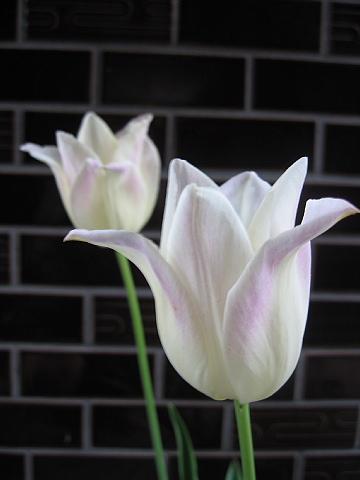 百合咲きチューリップ
