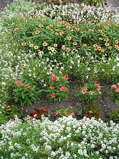 花壇ジニア