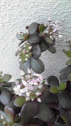 かねのなる木の花。