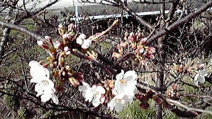 2009,桜