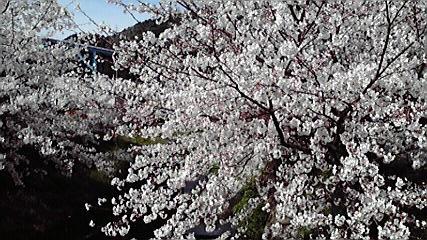 2009桜満開