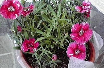 せきちくの花