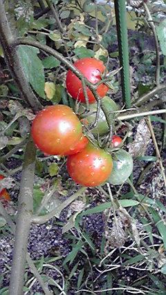 トマトの成長09