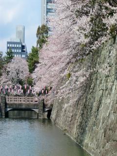 お堀の桜2