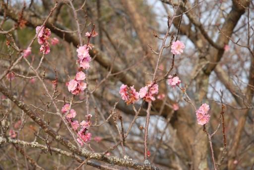 唐津城の桜2