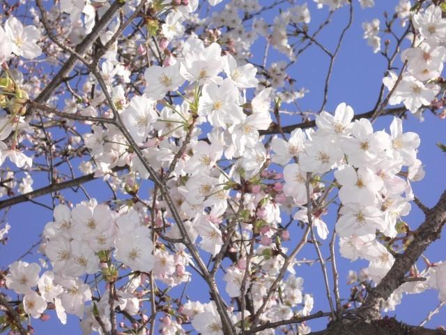 唐津城の桜3