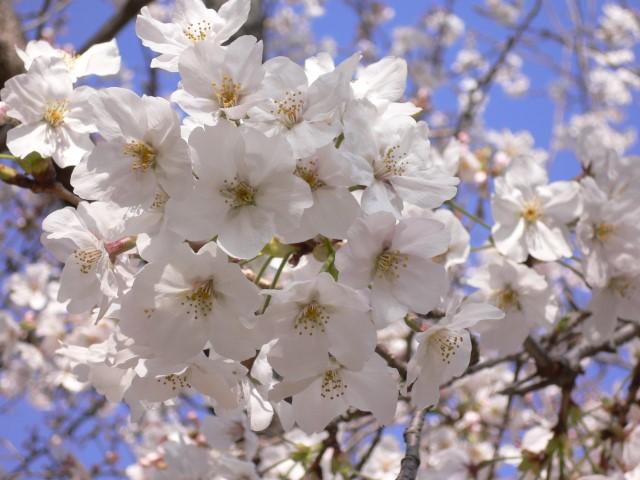 唐津城の桜4
