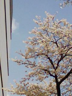 大学病院の近くの桜、満開