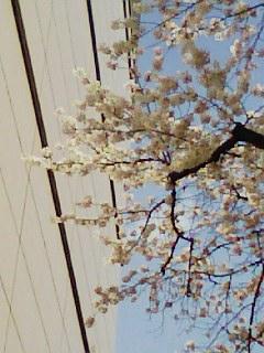 2007年の桜、3月29日