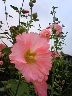 タチアオイ(ピンク)