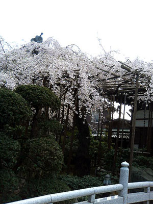 玉蔵院の枝垂桜