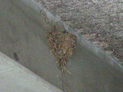 復活!ツバメの巣