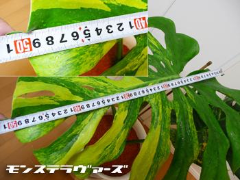葉っぱ測定